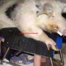 【無修正 獣姦動画】女のマンコに豚のペニスをねじ込み強引に中出しさせる鬼畜な行為